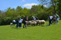 Raising the Baa - Sheep Hearding.png
